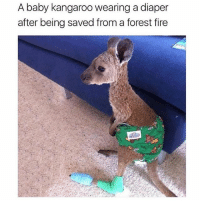 omg (@memes): A baby kangaroo wearing a diaper  after being saved from a forest fire omg (@memes)