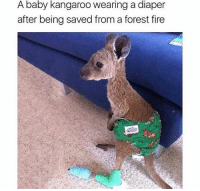 Forest Fire: A baby kangaroo wearing a diaper  after being saved from a forest fire