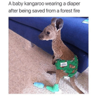 Fire, Memes, and Ted: A baby kangaroo wearing a diaper  after being saved from a forest fire @hilarious.ted has the best animal memes on the planet