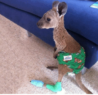 A baby kangaroo wearing a diaper after being saved from a forest fire Follow @9gag rescue kangaroo: A baby kangaroo wearing a diaper after being saved from a forest fire Follow @9gag rescue kangaroo