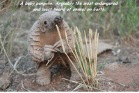 baby pangolin: A baby pangolin. Arguably the most endangered  and least heard of animal on Earth.