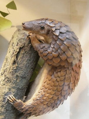 A baby Pangolin is called a Pangopup, and it's adorable.: A baby Pangolin is called a Pangopup, and it's adorable.