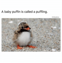 "Memes, Fuck, and Puff Daddy: A baby puffin is called a puffling.  @DrSmashlove And a father puffin is called a ""Puff Daddy"" HAHAHAHAHAHA FUCK I'M STUPID 😂 (@yourfavoriteexgf)"