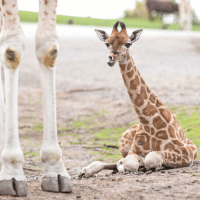 A baby Rothschild giraffe that was born on 3rd October has been pictured at West Midland Safari and Leisure Park, Bewdley in Worcestershire. The Rothschild's giraffe is one of the rarest sub-species in the world, with only about 1,600 thought to be in the wild. PHOTO: Aaron Chown-PA giraffe rare baby rothschild safaripark endangeredspecies: A baby Rothschild giraffe that was born on 3rd October has been pictured at West Midland Safari and Leisure Park, Bewdley in Worcestershire. The Rothschild's giraffe is one of the rarest sub-species in the world, with only about 1,600 thought to be in the wild. PHOTO: Aaron Chown-PA giraffe rare baby rothschild safaripark endangeredspecies