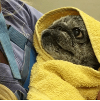 Memes, Pugs, and 🤖: A bad day is easily remedied by a video of an old pug being swaddled after a bath literallyswaddleme . @chubbsthewampug
