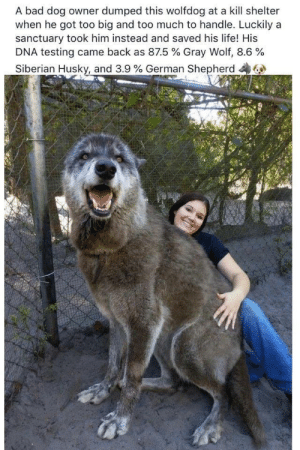 Dog Owner: A bad dog owner dumped this wolfdog at a kill shelter  when he got too big and too much to handle. Luckily a  sanctuary took him instead and saved his life! His  DNA testing came back as 87.5 % Gray Wolf, 8.6 %  Siberian Husky, and 3.9 % German Shepherd