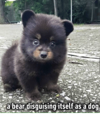 Memes, Omg, and Amaz: a bear disguising itself as a dog OMG just amazing creature