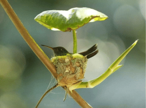 A beautiful Hummingbird's nest with a leaf roof..🕊️ (via): A beautiful Hummingbird's nest with a leaf roof..🕊️ (via)