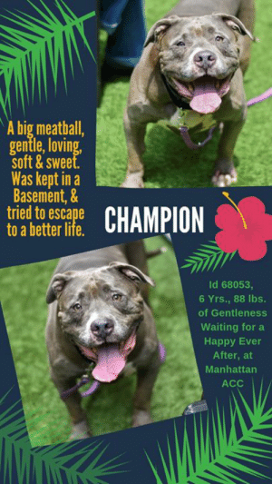 7/11, Children, and Click: A big meatball,  gentle,loving  soft&sweet  Was kept in a  Basement,&  tried to escape  to a better lite  CHAMPION  Id 68053,  6 Yrs., 88 lbs.  of Gentleness  Waiting for a  Happy Ever  After, at  Manhattan  ACC TO BE KILLED – 7/18/2019  He tried to escape to a better life….  He's soft, sweet, gentle, highly social and he loves to roll on his back when he meets new people.  So what kind of life did this big meatball of a boy have prior to the shelter. We'll tell you.  He lived in a basement with someone, and his life must have been so limited and sad, but it got more so when his owner became hospitalized and Champion felt he needed to find him even though that owner didn't give him the best life.  He tried to escape, leaping out the basement window.  He was so confused, and with the police chasing after him, he was darted.  And that's the last thing poor Champion remembers.  Now he is at the shelter, his wounds and heart healing, his bright smile shining for everyone he meets.  He thinks he is finally safe, and he thinks he can finally hold out hope for a better life.  What sweet, lovebug Champion doesn't know is that he is now on the list to die and that his life will end if no one picks him.  This boy is a gem, his SAFER was stellar, and his behavior at the shelter has been nothing short of gentlemanly.  He's a good, sweet boy.  Will you save his life?  Hurry and MESSAGE our page or email us at MustLoveDogsNYC@gmail.com for assistance fostering or adopting him. Due to his rating (and we are highly suspicious of, and question the circumstances behind, the event), he must go to an adult only home (no children under Age 13).     CHAMPION, ID# 68053, 6 Yrs. old, 88 lbs, Neutered Male Manhattan ACC, Large Mixed Breed, Gray / White I came to the Shelter as an Agency, 7/4/2019 Shelter Assessment Rating:  New Hope Rescue Only Medical Behavior Rating:  1. Green    AT RISK MEMO:   Champion has a bite history and would be best suited for placement 