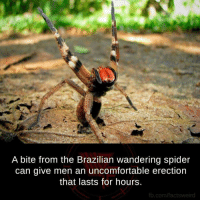 Funny Spider Pictures: A bite from the Brazilian wandering spider  can give men an uncomfortable erection  that lasts for hours.  fb.com/factsweird
