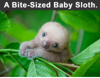 Sloth: A Bite-Sized Baby Sloth.