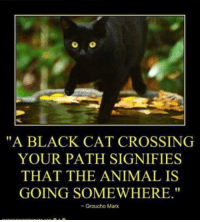 "Animal, Black, and Groucho Marx: ""A BLACK CAT CROSSING  YOUR PATH SIGNIFIES  THAT THE ANIMAL IS  GOING SOMEWHERE.""  - Groucho Marx Superstitions"