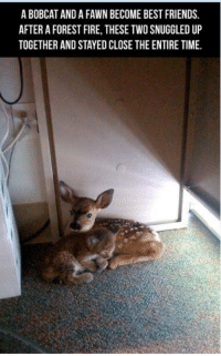 Memes, Bobcat, and 🤖: A BOBCAT AND A FAWN BECOME BEST FRIENDS.  AFTER A FOREST FIRE, THESE TWOSNUGGLED UP  TOGETHER ANDSTAYED CLOSE THE ENTIRE TIME. http://t.co/dwJDY3BJyv