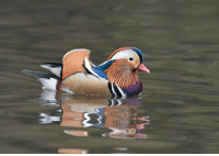 Memes, Birds, and Duck: A bright Mandarin duck was spotted in New York's Central Park! 😍😍 . The mysterious duck, whose origin is unknown, has developed quite a fan base. Want to know more? . Read the full @nytimes article here: https:-nyti.ms-2Q5a1ut . duck mandarinduck nyc birds birdwatching science