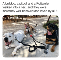 "Pitbull, Bulldog, and Good: A bulldog, a pitbull and a Rottweiller  walked into a bar...and they were  incredibly well-behaved and loved by all) <p>Such good puppers. via /r/wholesomememes <a href=""https://ift.tt/2LKdJeh"">https://ift.tt/2LKdJeh</a></p>"