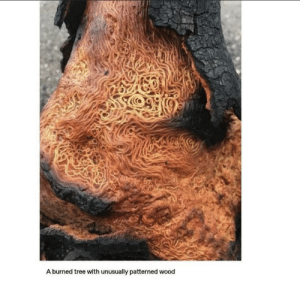 Forbidden Spaghetti: A burned tree with unusually patterned wood Forbidden Spaghetti