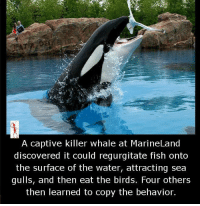 whale: A captive killer whale at MarineLand  discovered it could regurgitate fish onto  the surface of the water, attracting sea  gulls, and then eat the birds. Four others  then learned to copy the behavior.