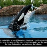Dank, Killer Whales, and Birds: A captive killer whale at Marineland discovered it could regurgitate  fish onto the surface of the water, attracting seagulls, and then eat  the birds. 4 others then learned to copy the behavior.