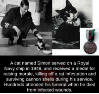 Cats, Memes, and Heroes: A cat named Simon served on a Royal  Navy ship in 1949, and received a medal for  raising morale, killing off a rat infestation and  surviving cannon shells during his service.  Hundreds attended his funeral When he died  from infected wounds. Hats off to Hero Cats!  Do you know any?
