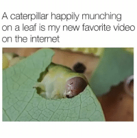 I really sat there and watched the whole thing 😩: A caterpillar happily munching  on a leaf is my new favorite video  on the internet I really sat there and watched the whole thing 😩