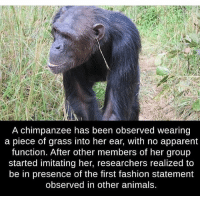 Animals, Fashion, and Memes: A chimpanzee has been observed wearing  a piece of grass into her ear, with no apparent  function. After other members of her group  started imitating her, researchers realized to  be in presence of the first fashion statement  observed in other animals. Styles :)