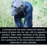 Animals, Fashion, and Been: A chimpanzee has been observed wearing  a piece of grass into her ear, with no apparent  function. After other members of her group  started imitating her, researchers realized to  be in presence of the first fashion statement  observed in other animals