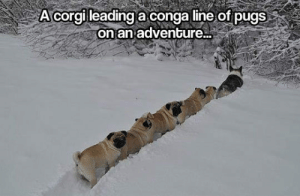 srsfunny:Come On Guys, We're Going On An Adventure: A corgi leading a conga line of pugs  on an adventure... srsfunny:Come On Guys, We're Going On An Adventure