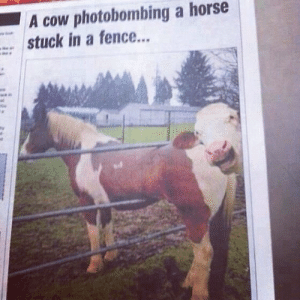 Horse, Act, and Cow: A cow photobombing a horse  stuck in a fence... A cow getting in on the act.