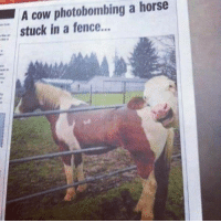 Dank, Photobomb, and 🤖: A cow photobombing a horse  stuck in a fence... Shut The Front Door is looking to get some new page likes in order to run some new games and giveaways!  Can you help us?