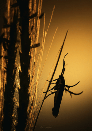 A curved-horn moth chilling at sunset: A curved-horn moth chilling at sunset