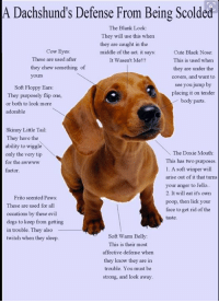 Fritos, Memes, and Poop: A Dachshund's Defense From Being Scolded  The Blank Look:  They will use this when  they are caught in the  Cow Eyes:  middle of the act, it says:  Cute Black Nose  These are used after  It Wasen't Me!!!  This is used when  they chew something of  they are under the  yours  covers, and want to  see you jump by  Soft Floppy Ears:  placing it on tender  They purposely flip one  body parts  or both to look more  adorable  Skinny Little Tail:  They have the  ability to wiggle  The Doxie Mouth  only the very tip  This has two purposes  for the awwww  1. A soft winper will  factor.  arise out of it that tums  your anger to Jello.  2. It will eat it's own  Frito scented Paws:  poop, then lick your  These are used for all  face to get rid of the  occations by these evil  taste.  dogs to keep from getting  in trouble. They also  Soft Warm Belly:  twitch when they sleep.  This is their most  affective defense when  they know they are in  trouble. You must be  strong, and look away. You Know That Totally Blank Wall You Get From A Wiener! Here's How They Do It!