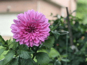 A Dahlia from my yard last year, taken with an iPhone 7 Plus, unedited.: A Dahlia from my yard last year, taken with an iPhone 7 Plus, unedited.