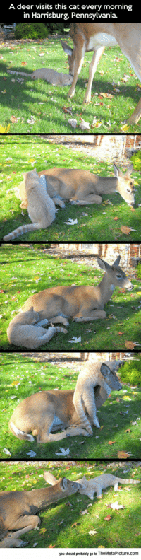 Deer, Tumblr, and Blog: A deer visits this cat every morning  in Harrisburg, Pennsylvania  you should probably go to TheMetaPicture.com srsfunny:  Quite The Unexpected Friendship