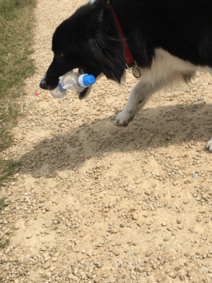 A dog I saw saw that had picked up a plastic water bottle out of the grass. Dunno thought it was kool koz it's emphasising the plastic pollution problem.: A dog I saw saw that had picked up a plastic water bottle out of the grass. Dunno thought it was kool koz it's emphasising the plastic pollution problem.