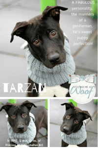 "A Dream, Andrew Bogut, and Animals: A FABULoUS  personality  the manners  of a  entleman,  he's sweet  puppy  perfection!  IAR  AD ME AT  ld 5  Preciou  12 M  bs, of  nhattan ACC TO BE KILLED 1/10/2019  <3  STUNNING good looks, that adorable head tilt, and a 5 star personality, TARZAN is a dream dog and we admit it, our hearts are lost to this 12 month old puppy.  It's not a had task, because he adores people and he is a doggy playgroup star too!  As a volunteer and staff member write: ""Me, Tarzan. You - about to meet the love of your life! Tarzan loves to see his friends, and he gives kisses whether he knows you or not! And to top it off manners of a gentleman twice his age and the ability to turn strangers into friends just with one wag of that tail. He not only has a fabulous personality, but Tarzan is a looker too. Once you pet his silky soft fur and look into his big baby browns, you will fall in love. Tarzan isn't the king of the jungle, just the king of your heart, ready and waiting at Manhattan Animal Care Center.""    We are shocked this gorgeous boy with his big heart and sweet ways has not been scooped up, but he is in jeopardy of dying if no one picks him today.  So hurry and foster or adopt him now.  You can comment on his poster thread or email us at MustLoveDogsNYC@gmail.com for assistance – one of our team will PM you and hand hold you though the process.     MY VIDEOS:  Tarzan will be the king of your heart  <3 https://youtu.be/TJIXIaTZi8w  Tarzan and Princess 1 https://youtu.be/sVB5TQsZMkA  Tarzan and Princess 2 https://youtu.be/QeESijuEgjg  TARZAN, ID# 51742, @ 2 Yrs. Old, 61.8 lbs. Manhattan ACC, Large Mixed Breed, Black / White, Unaltered Male I came into the shelter as a Stray, 1/3/2019 Shelter Assessment Rating:   LEVEL 2  (reference rating info bottom of this post) Intake Behavior Rating:   1.  Green  AT RISK MEMO:  Tarzan is at risk for medical reasons. Tarzan was diagnosed with canine infectious respiratory disease complex which is contagious to other animals will require in home care. Behaviorally, Tarzan is an enthusiastic dog who may need some level of behavior modification to manage impulse control.     INTAKE NOTES – DATE OF INTAKE, 1/3/2019:  Tarzan  would jump and bark at the strangers in the lobby. The finder needed to keep a tight grip on him, as he would lunge and bark. To avoid stress, Tarzan was placed into a kennel by the finder and myself.   SURRENDER NOTES – BASIC INFORMATION:  Lazy (shelter name TARZAN)  is a large mixed breed male, estimated to be 1 years old. Lazy was found as a stray and brought in by his finder. Lazy barks and jumps.  Lazy did not scratch his finder.   He is high energy, playful and barks a lot. He has not had a medical issue and has no known medical concerns.   SHELTER ASSESSMENT - Date of assessment:: 1/6/2019  SUMMARY   LEASH WALKING  Strength and pulling: moderate  Reactivity to humans: none  Reactivity to other dogs: none  Reactivity other: none  Leash walking comments: Jumps up a lot on handler socially.   SOCIABILITY  Loose in room: Highly social  Call over: Approaches with coaxing  Sociability comments: Sniffed the room then approached and became highly social, jumping up on the assessor with a loose body.   HANDLING  Soft handling: Seeks contact Exuberant handling: Seeks contact  Handling comments: Jumping up, bit mouthy, very social AROUSAL Jog: Engages in play with handler Tug: Tugs, drops toy Comments: Jumps up, excited, playful, bit mouthy with light pressure.   RAISED VOICE  Approaches exuberant  Comments: Jumps up high on assessor socially   TOY Grips, firm  Comments: None  PLAYGROUP NOTES – DOG TO DOG SUMMARIES:  Summary (1):: 1/5: When introduced off leash to a female dog, Tarzan greets politely and wanders the pen. 1/8: Tarzan solicits exuberant play from a female dog.  INTAKE BEHAVIOR - Date of intake:: 1/3/2019.  Summary:: Jumping, barking  MEDICAL BEHAVIOR - Date of initial:: 1/3/2019.  Summary:: Active, mouthy, attention seeking.  ENERGY LEVEL:: We have no history on Tarzan so we cannot be certain of his behavior in a home environment. However, he is a young, enthusiastic, social dog who will need daily mental and physical activity to keep him engaged and exercised. We recommend long-lasting chews, food puzzles, and hide-and-seek games, in additional to physical exercise, to positively direct his energy and enthusiasm.  IN SHELTER OBSERVATIONS:: Tarzan has been highly social during his time at the care center, seeking attention and interaction from handlers. He displays high energy behavior, pulling on leash and jumping up on handlers in a social manner. While he has been difficult to return to his kennel at times (jumping up and pulling), he has never escalated to snapping or thrashing.   BEHAVIOR DETERMINATION:: Level 2 Behavior Asilomar: TM - Treatable-Manageable  Recommendations:: No young children (under 5) Recommendations comments:: No young children: Due to the high level of jumping and mouthing seen at the care center, we recommend a home without young children. Older children who are comfortable around large, jumpy dogs should have an in-depth interaction prior to adoption.   Potential challenges: : Basic manners/poor impulse control,Mouthiness/poor bite inhibition Potential challenges comments:: Sees handouts on basic manners and mouthiness  MEDICAL EXAM NOTES   4/01/2019 Microchip Scan: Negative Evidence of Cruelty: No Observed Behavior: Green, allows handling Sex: Male intact Estimated Age: 2 yr. Subjective: Owner Surrender Eyes: both eyes are clean Ears: both ears are clean Oral Exam: mild tartar Heart: normal in rhythm and rate Lungs: normal in rhythm and rate Abdomen: palpated-no mass seen, not distended Musculoskeletal: ambulatory Skin: clean Mentation: BARH Plan: need DVM exam and RV   5/01/2019 [DVM Intake] DVM Intake Exam Estimated age: 1yr Microchip noted on Intake? N Microchip Number (If Applicable): History: stray- found w/ sweater and collar w/ ""Lazy"" as name Subjective: BAR Observed Behavior - very energetic, slightly mouthy but rolls over on back, wants to play, attention seeking, compliant for exam except wiggly; knows ""sit"" command Evidence of Cruelty seen - N Evidence of Trauma seen - N Objective T = DNP P = WNL R = WNL BCS 5/9 EENT: Eyes clear, ears clean, no nasal or ocular discharge noted Oral Exam: clean adult dentition PLN: No enlargements noted H/L: NSR, NMA, CRT < 2, lungs clear, eupnic ABD: Non painful, no masses palpated U/G: Intact male- both testes in scrotum MSI: Ambulatory x 4, skin free of parasites, no masses noted, healthy hair coat CNS: Mentation appropriate - no signs of neurologic abnormalities Rectal: Externally normal Assessment: apparently healthy ~1yr MI dog Prognosis: excellent Plan: ok for surgery and placement SURGERY: Okay for surgery  9/01/2019 SO BAR in kennel. EN -- coughing in kennel and on leash when being prepared for transport to ASPCA for sx. A CIRDC P move to ISO rejected from sx Doxycycline 100mg tablet -- give 3 tablets PO q24h x 14 days cerenia 60 mg tablet -- give 0.5 tablet PO q24h x 4 days   * TO FOSTER OR ADOPT *   HOW TO RESERVE A ""TO BE KILLED"" DOG ONLINE (only for those who can get to the shelter IN PERSON to complete the adoption process, and only for the dogs on the list NOT marked New Hope Rescue Only). Follow our Step by Step directions below!   PLEASE NOTE – YOU MUST USE A PC OR TABLET – PHONE RESERVES WILL NOT WORK! *  STEP 1: CLICK ON THIS RESERVE LINK: https://newhope.shelterbuddy.com/Animal/List  Step 2: Go to the red menu button on the top right corner, click register and fill in your info.   Step 3: Go to your email and verify account  \ Step 4: Go back to the website, click the menu button and view available dogs   Step 5: Scroll to the animal you are interested and click reserve   STEP 6 ( MOST IMPORTANT STEP ): GO TO THE MENU AGAIN AND VIEW YOUR CART. THE ANIMAL SHOULD NOW BE IN YOUR CART!  Step 7: Fill in your credit card info and complete transaction   HOW TO FOSTER OR ADOPT IF YOU CANNOT GET TO THE SHELTER IN PERSON, OR IF THE DOG IS NEW HOPE RESCUE ONLY!   You must live within 3 – 4 hours of NY, NJ, PA, CT, RI, DE, MD, MA, NH, VT, ME or Norther VA.   Please PM our page for assistance. You will need to fill out applications with a New Hope Rescue Partner to foster or adopt a dog on the To Be Killed list, including those labelled Rescue Only. Hurry please, time is short, and the Rescues need time to process the applications.  Shelter contact information Phone number (212) 788-4000  Email adoption@nycacc.org  Shelter Addresses: Brooklyn Shelter: 2336 Linden Boulevard Brooklyn, NY 11208 Manhattan Shelter: 326 East 110 St. New York, NY 10029 Staten Island Shelter: 3139 Veterans Road West Staten Island, NY 10309  *** NEW NYC ACC RATING SYSTEM ***  Level 1 Dogs with Level 1 determinations are suitable for the majority of homes. These dogs are not displaying concerning behaviors in shelter, and the owner surrender profile (where available) is positive. Some dogs with Level 1 determinations may still have potential challenges, but these are challenges that the behavior team believe can be handled by the majority of adopters. The potential challenges could include no young children, prefers to be the only dog, no dog parks, no cats, kennel presence, basic manners, low level fear and mild anxiety.   Level 2  Dogs with Level 2 determinations will be suitable for adopters with some previous dog experience. They will have displayed behavior in the shelter (or have owner reported behavior) that requires some training, or is simply not suitable for an adopter with minimal experience. Dogs with a Level 2 determination may have multiple potential challenges and these may be presenting at differing levels of intensity, so careful consideration of the behavior notes will be required for counselling. Potential challenges at Level 2 include no young children, single pet home, resource guarding, on-leash reactivity, mouthiness, fear with potential for escalation, impulse control/arousal, anxiety and separation anxiety.   Level 3 Dogs with Level 3 determinations will need to go to homes with experienced adopters, and the ACC strongly suggest that the adopter have prior experience with the challenges described and/or an understanding of the challenge and how to manage it safely in a home environment. In many cases, a trainer will be needed to manage and work on the behaviors safely in a home environment. It is likely that every dog with a Level 3 determination will have a behavior modification or training plan available to them from the behavior department that will go home with the adopters and be made available to the New Hope Partners for their fosters and adopters. Some of the challenges seen at Level 3 are also seen at Level 1 and Level 2, but when seen alongside a Level 3 determination can be assumed to be more severe. The potential challenges for Level 3 determinations include adult only home (no children under the age of 13), single pet home, resource guarding, on-leash reactivity with potential for redirection, mouthiness with pressure, potential escalation to threatening behavior, impulse control, arousal, anxiety, separation anxiety, bite history (human), bite history (dog) and bite history (other).  New Hope Rescue Only  Dog is not publicly adoptable.  Prospective fosters or adopters need to fill out applications with New Hope Partner Rescues to save this dog."