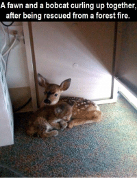 Memes, Bobcat, and Awww: A fawn and a a bobcat up together  curling after being rescued from a forest fire. awww poor little babies