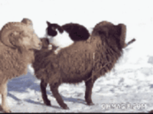"a-forger-and-a-point-man: gwylliondream:  thefingerfuckingfemalefury:  fromonelifetoanother:  thedeathofscottywazz:  orangepenguino:  babygoatsandfriends:  sheth:  babygoatsandfriends:  Bye losers.  Onward, my carriage!  Make haste to the next town!  Haste!!!  Verily these paws don't touch snow!  The new Dodge Rams look comfortable.   The last comment made me laugh so hard I woke up my sister and almost peed  ""ONWARDS TO ADVENTURE MY NOBLE STEED""  Mai neyme is cat An wen its dae My fren the ram Comes here to plae Hes woolie soft Treats me like fam I hop rite on I ried the ram  let's bring this back because gwyl totally wrote one of the best lik the breds i've read on this website : a-forger-and-a-point-man: gwylliondream:  thefingerfuckingfemalefury:  fromonelifetoanother:  thedeathofscottywazz:  orangepenguino:  babygoatsandfriends:  sheth:  babygoatsandfriends:  Bye losers.  Onward, my carriage!  Make haste to the next town!  Haste!!!  Verily these paws don't touch snow!  The new Dodge Rams look comfortable.   The last comment made me laugh so hard I woke up my sister and almost peed  ""ONWARDS TO ADVENTURE MY NOBLE STEED""  Mai neyme is cat An wen its dae My fren the ram Comes here to plae Hes woolie soft Treats me like fam I hop rite on I ried the ram  let's bring this back because gwyl totally wrote one of the best lik the breds i've read on this website"