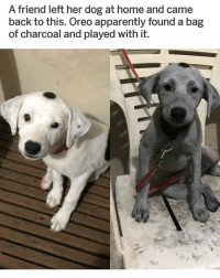 Apparently, Lmao, and Memes: A friend left her dog at home and came  back to this. Oreo apparently found a bag  of charcoal and played with it. OREO! LMAO