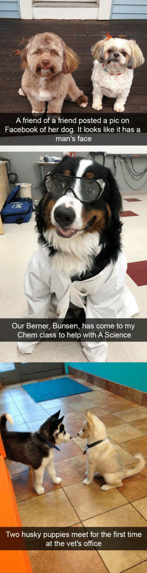 Dog snapsvia @animalsnaps: A friend of a friend posted a pic on  Facebook of her dog. It looks like it has a  man's face   Our Berner, Bunsen, has come to my  Chem class to help with A Science   Two husky puppies meet for the first time  at the vet's office Dog snapsvia @animalsnaps