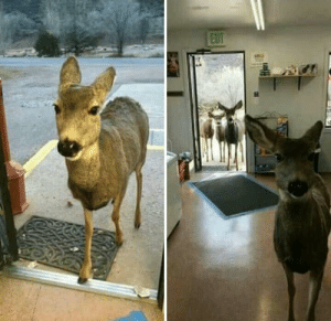 Family, Chocolate, and Colorado: A Gazelle entered a shop in the state of Colorado. The owner decided to give him some chocolate and biscuits. He left  half an hour later he came back bringing his entire adorable family ! 😊😍