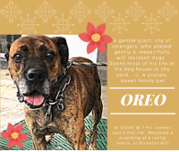 "Being Alone, Andrew Bogut, and Apparently: A gentle giant, shy of  strangers, who played  gently & respectfully  w/2 resident dogs.  Spent most of his life in  his dog house in the  yard. :-A proven,  sweet family pet  OREO  1L  Id 46249.@7 Yrs. (owner  says 3 Yrs) old. Neutered &  dreaming of a loving  family. at Brooklyn ACC *** TO BE KILLED – 11/10/2018 ***  He is shy of strangers, he loved his family, even though that family admitted he spent most of his life in his dog house in the back yard. He had 2 other dogs for friends, but in the end, it all doesn't matter now, because his parent is in and out of the hospital and can no longer care for them. Being shy is not an asset at the high kill shelter. Being shy, being a wallflower, means that it is hard for you to reach out, to trust, to try to make friends. But OREO has tried, and he has made friends in his short time there with a couple of his handlers. He may still have a tucked tail, he may still wish he could just go to sleep and wake up in his old home, as meagre and inadequate as it was, but at least he would be back in a place where he had a routine he could count on. He's a gentle giant, he loved his siblings and was gentle with them. At the shelter, in playgroup, he was a shy polite greeter, and he did come out of his shell on his second time out. He has a sterling resume – housetrained and knows commands! All that dogs like Oreo need is time. All dogs like Oreo need is kindness, compassion, and a soft voice. They need to know they mean something, that their lives matter, that there is hope for happiness and love. Don't let this poor kid die. He has only his sad, blurry intake, but the intake staff were kind – they said, ""He allowed us to scan him for a microchip and take a handsome intake photo."" <3 Oreo is handsome, he is more than that – he is beautiful…with a beautiful heart, and a kind soul. If you are an experienced foster or adopter who can provide him a soft place to land, please hurry and MESSAGE our page or email us at MustLoveDogsNYC@gmail.com for assistance. Oreo is depending on you. He's neutered and ready to go!  OREO, ID 46249 @ 7 Yrs. (Owner said he is 3 Yrs.) Old, 63 lbs. Brooklyn ACC, Large Mixed Breed, Black Brindle, Neutered Male Owner Surrender Reason: Person Health - Medical Shelter Assessment Rating: New Hope Rescue Only Intake Behavior Rating: 4. Orange  I came to the shelter with Almond  AT RISK MEMO: In the care center, Oreo has been fearful and allows minimal handling from select caretakers in line with what his previous owner reports on his behavior towards strangers. Due to his high level of fear, we believe Oreo would be best set up to succeed through placement with an experienced rescue partner who can allow him to acclimate and decompress at this own pace. There are no medical concerns for him at this time.  INTAKE NOTE – DATE OF INTAKE 11/02/2018: Upon intake Oreo was not collared due to him snapping and trying to bite. He did allow staff to scan him for a microchip and take a handsome intake photo. <3  SURRENDER NOTES – BASIC INFORMATION: Oreo is a 3y/o brown brindle dog and was surrendered due to owner being in and out of the hospital. Oreo was surrender along with another dog named Almond. Oreo was with owner for 3 years and has not been to the vet in 2 years. He previously lived with 4 adults and 2 dogs. Oreo is shy around strangers and will have his tail tucked between his legs. Oreo may try to bite if he feels scared. Oreo has not been around children so behavior is unknown. Oreo has only been around 2 dogs his entire life and he does play gentle with them. Oreo has not been around cats so behavior is unknown. Oreo does food guard or become aggressive and try to bite if he feels he hasn't been fed enough. Oreo has no bite history. He is housetrained and has a high energy level. Oreo will bark when strangers approach the home or yard. He does struggle to take a bath and will growl when a toy is taken away. He has not had any medical issues and has no known medical issues.  For a New Family to Know: Oreo is a playful dog and he does like to play with his ball and squeaky toys. He is outdoor most of the time in his own dog house in the backyard. Oreo enjoys eating dry food and has no issue using the bathroom. He does know the commands sit and stay as well as come.  SHELTER ASSESSMENT – DATE OF ASSESSMENT: 11/5/2018 Summary:: Due to the high level of fear displayed in the care center, Oreo is not considered an appropriate candidate for an assessment at this time.   PLAYGROUP NOTES – DOG TO DOG SUMMARIES: According to Oreo's previous owner, Oreo only socializes with two resident dogs. 11/3: When off leash at the Care Centers, Oreo quickly avoids the greeter. The greeter dog's leash is held to give him a chance to approach, but Oreo chooses to keep to himself and never approaches her. He paces throughout the yard. 11/6: Oreo was much more confident today. He attempted to mount the novel female dog, several times, before listening to handler interruptions. He spent the rest of his session exploring the yard.   INTAKE BEHAVIOR - Date of intake:: 11/2/2018. Summary:: Snapping upon attempts to collar, backing away, tucked tail  ENERGY LEVEL:: Oreo is reported to have a high energy level in his previous home environment.   BEHAVIOR DETERMINATION:: NEW HOPE ONLY Behavior Asilomar: TM - Treatable-Manageable  Recommendations:: No children (under 13),Place with a New Hope partner Recommendations comments:: No children (under 13): Due to his fearful behavior combined with the reported resource guarding, we believe Oreo may be best set up to succeed in a home without children at this time. Place with a New Hope partner: In the care center, Oreo has been fearful and allows minimal handling from select caretakers in line with what his previous owner reports on his behavior towards strangers. Due to his high level of fear, we believe Oreo would be best set up to succeed through placement with an experienced rescue partner who can allow him to acclimate and decompress at this own pace. Force-free, reward based training is advised when introducing or exposing Oreo to new and unfamiliar situations.   Potential challenges: : Resource guarding,Fearful/potential for defensive aggression Potential challenges comments:: Resource guarding: Oreo's previous owner notes that he may growl and snap when his food or toys are approached. We recommend that Oreo be left alone while eating, and that food guarding behavior modification steps (available at ASPCApro.org) be utilized if this behavior is problematic in his future home. Nothing should ever be taken directly out of Oreo's mouth, and any time something is removed he should be rewarded with a high value treat or toy. He should be taught the ""drop"" cue and trade-up games. Fearful/potential for defensive aggression: Oreo is reported to be fearful towards strangers and snap when uncomfortable. Oreo needs careful behavior modification and management to prevent future incidents. We recommend only force-free, reward-based training methods for Oreo as more aversive techniques are likely to increase fear and increase the risk of aggression.   MEDICAL NOTES:   6/11/2018  [DVM Intake] DVM Intake Exam Estimated age: 7 years Microchip noted on Intake? No Microchip Number (If Applicable): 985121013138075 History : BARH. No csvd Subjective: BARH. No csvd Observed Behavior - Very nervous, muzzled for exam Evidence of Cruelty seen - no Evidence of Trauma seen - no Objective P = wnl R = wnl BCS 5/9 EENT: Eyes clear, ears clean, no nasal or ocular discharge noted Oral Exam: muzzled- not performed PLN: No enlargements noted H/L: NSR, NMA, CRT < 2, Lungs clear, eupnic ABD: Non painful, no masses palpated U/G: neutered male, no discharge MSI: Ambulatory x 4, skin free of parasites, no masses noted, healthy hair coat CNS: Mentation appropriate - no signs of neurologic abnormalities Rectal: normal externally Assessment apparently healthy Prognosis: good Plan: no tx needed   *** TO FOSTER OR ADOPT ***   OREO IS RESCUE ONLY. You must fill out applications with New Hope Rescues to foster or adopt him. He cannot be reserved online at the ACC ARL, nor can he be direct adopted at the shelter. PLEASE HURRY AND MESSAGE OUR PAGE FOR ASSISTANCE!   HOW TO RESERVE A ""TO BE KILLED"" DOG ONLINE (only for those who can get to the shelter IN PERSON to complete the adoption process, and only for the dogs on the list NOT marked New Hope Rescue Only). Follow our Step by Step directions below!   *PLEASE NOTE – YOU MUST USE A PC OR TABLET – PHONE RESERVES WILL NOT WORK! **   STEP 1: CLICK ON THIS RESERVE LINK: https://newhope.shelterbuddy.com/Animal/List  Step 2: Go to the red menu button on the top right corner, click register and fill in your info.   Step 3: Go to your email and verify account  \ Step 4: Go back to the website, click the menu button and view available dogs   Step 5: Scroll to the animal you are interested and click reserve   STEP 6 ( MOST IMPORTANT STEP ): GO TO THE MENU AGAIN AND VIEW YOUR CART. THE ANIMAL SHOULD NOW BE IN YOUR CART!  Step 7: Fill in your credit card info and complete transaction   HOW TO FOSTER OR ADOPT IF YOU *CANNOT* GET TO THE SHELTER IN PERSON, OR IF THE DOG IS NEW HOPE RESCUE ONLY!   You must live within 3 – 4 hours of NY, NJ, PA, CT, RI, DE, MD, MA, NH, VT, ME or Norther VA.   Please PM our page for assistance. You will need to fill out applications with a New Hope Rescue Partner to foster or adopt a dog on the To Be Killed list, including those labelled Rescue Only. Hurry please, time is short, and the Rescues need time to process the applications.  Shelter contact information Phone number (212) 788-4000  Email adoption@nycacc.org  Shelter Addresses: Brooklyn Shelter: 2336 Linden Boulevard Brooklyn, NY 11208 Manhattan Shelter: 326 East 110 St. New York, NY 10029 Staten Island Shelter: 3139 Veterans Road West Staten Island, NY 10309"