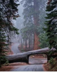 Driving, Irish, and Memes: A giant Log you can drive through in Sequoia National Park, California.  Image by: @jonathan_irish