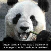 Panda: A giant panda in China faked a pregnancy in  order to get more food and special treatment.