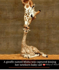 Memes, Giraffe, and 🤖: A giraffe named Misha was captured kissing  her newborn baby calf Weird Worl Pic courtesy: Ron D'Raine