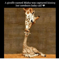 Memes, Giraffe, and 🤖: A giraffe named Misha was captured kissing  her newborn baby calf In this world of violence and confusion you need some giraffe love ❤ This made me smile :) respect @bluezie1