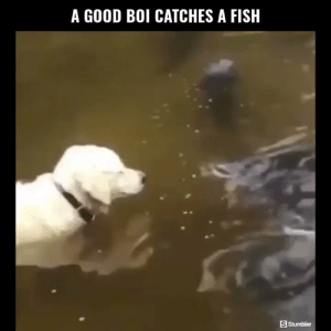 Funny, Memes, and Videos: A GOOD BOI CATCHES A FISHH  S Stumbler RT @StumblerFunny: For more funny videos follow @StumblerFunny or visit https://t.co/wXxwph26cH https://t.co/QldGwCeuB6