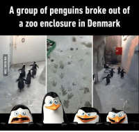 Just smile and wave boys, smile and wave.: A group of penguins broke out of  a zoo enclosure in Denmark Just smile and wave boys, smile and wave.