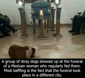 epicjohndoe:  Some Angels Have Four Legs: A group of stray dogs showed up at the funeral  of a Mexican woman who regularly fed them.  Most baffling is the fact that the funeral took  place in a different city. epicjohndoe:  Some Angels Have Four Legs