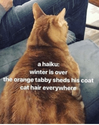 tabby: a haiku:  winter is over  e orange tabby sheds his coat  cat hair everywhere