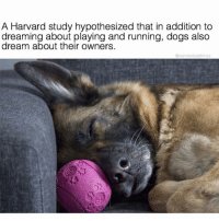 IS THIS TRUE 😩 follow @teamnobadtimes for all the feels + animal memes 😍 @teamnobadtimes: A Harvard study hypothesized that in addition to  dreaming about playing and running, dogs also  about their owners  @reamnobadtimes IS THIS TRUE 😩 follow @teamnobadtimes for all the feels + animal memes 😍 @teamnobadtimes